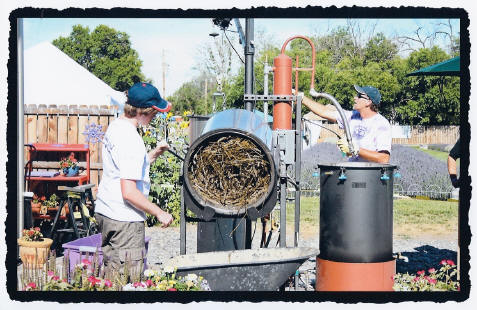 Lavender Oil Distillation at Purple Ridge Lavender