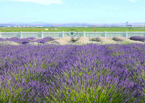 Lavender at Purple Ridge Lavender Hermiston Oregon