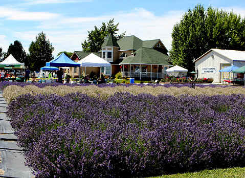 Lavender Festival 2011 at Purple Ridge Lavender
